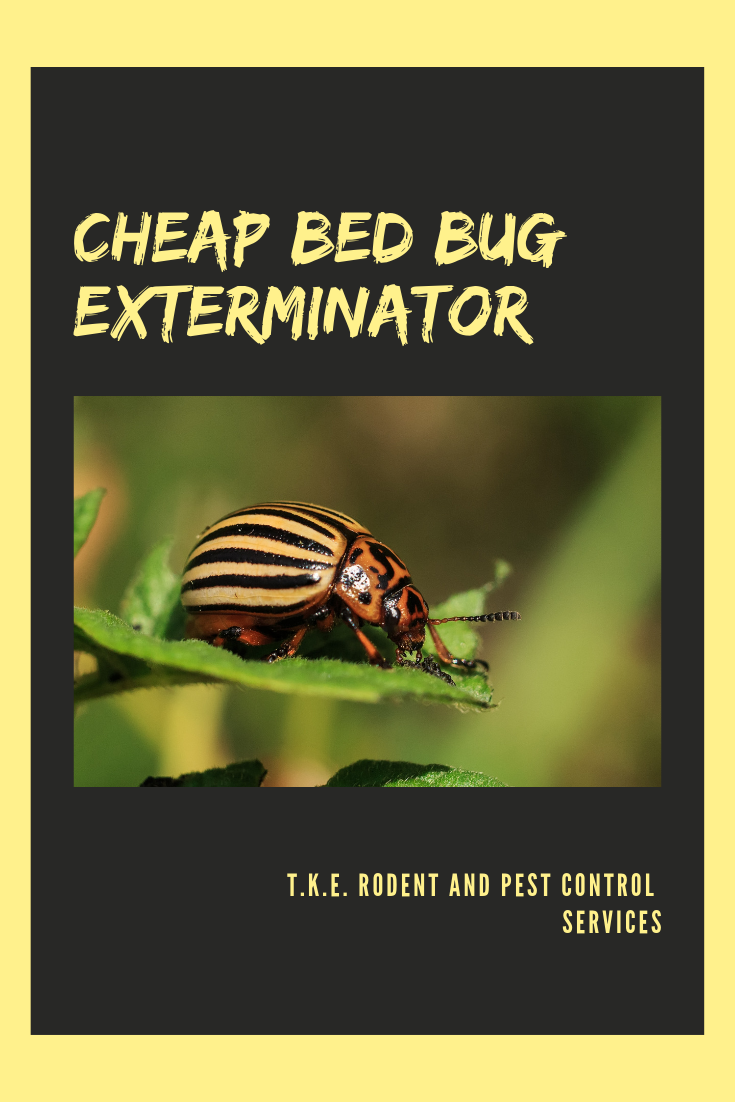Cheap Bed Bug Exterminator Bed bugs, Bed bug