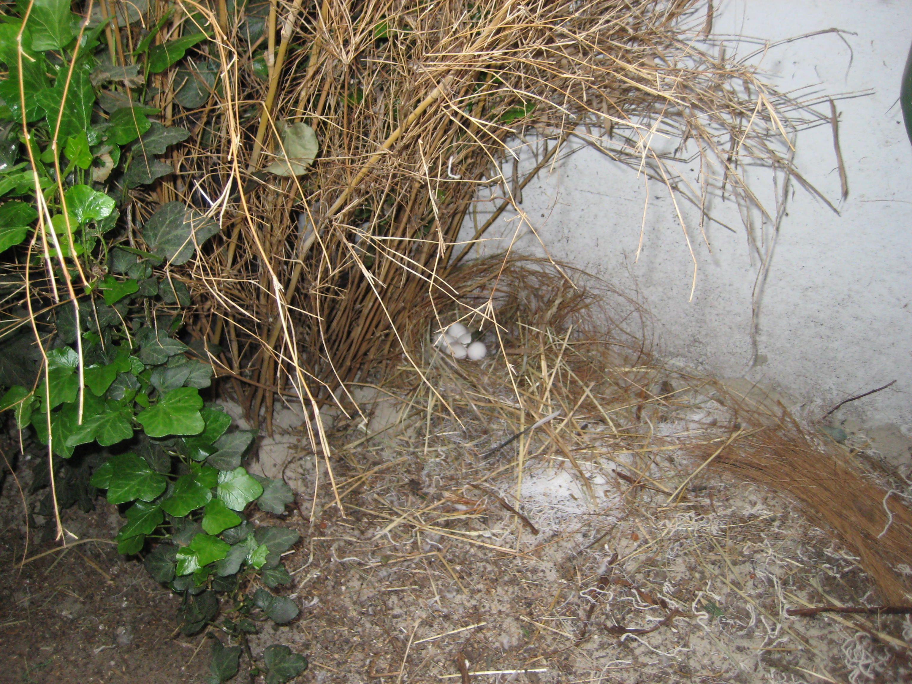 Nest met eieren van de frankolijnkwartel.