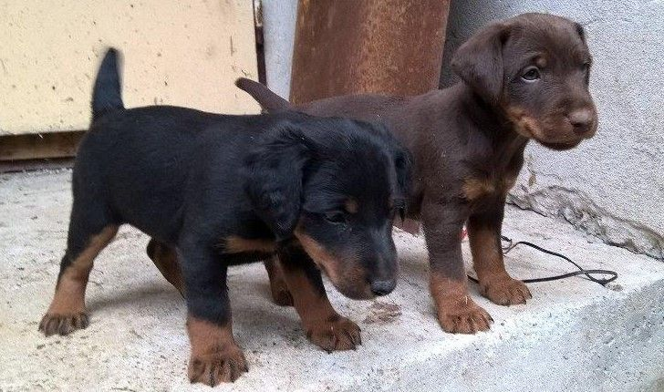 Jagdterrier Puppies Dogs Dogs Pet Breeds Puppies
