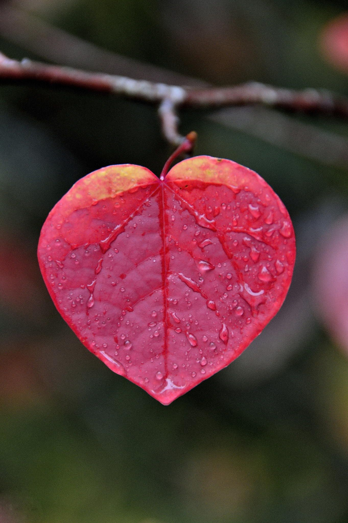 A Weeping Heart, red garden leaf by Mark Chan