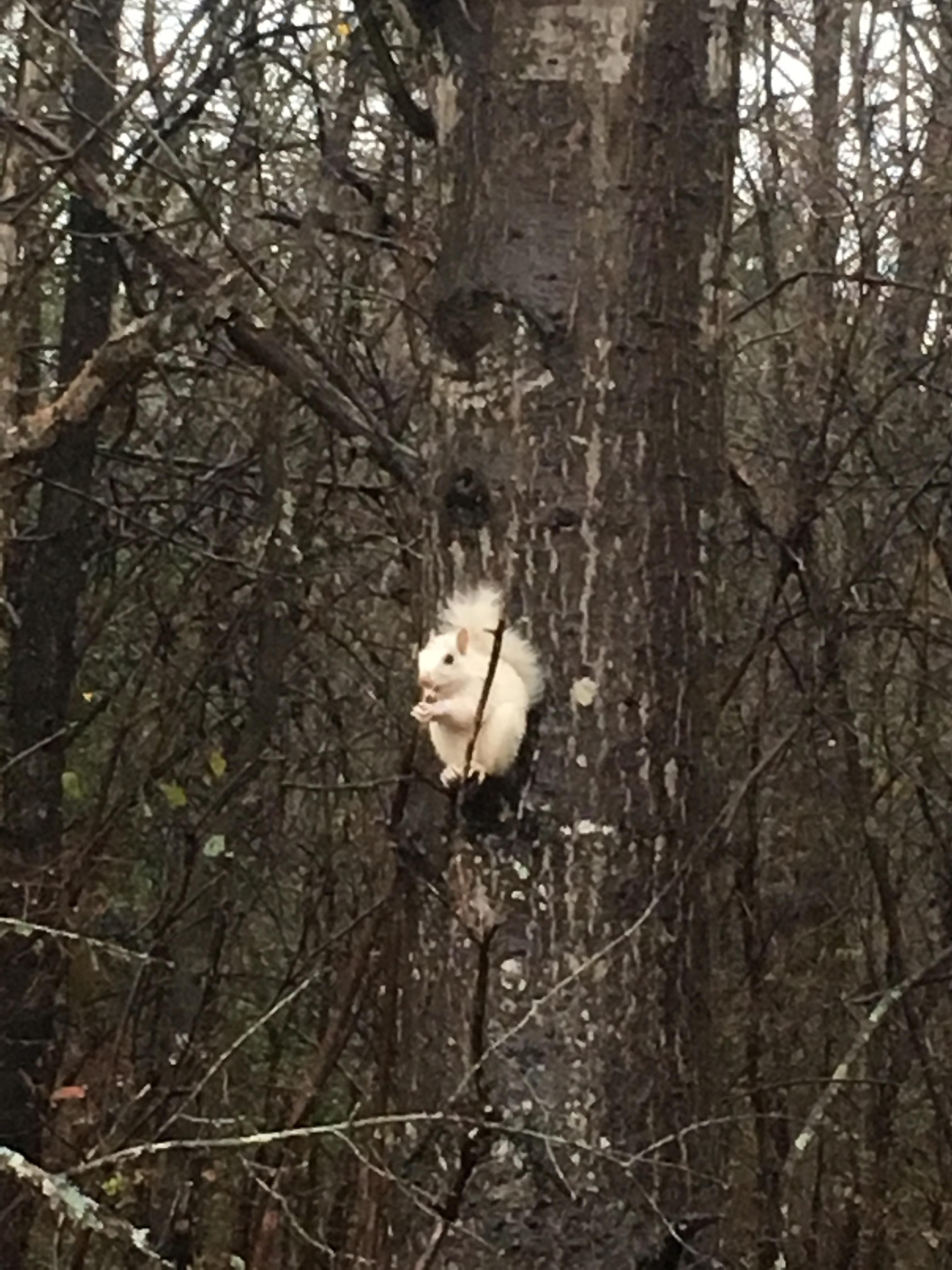 An Albino Squirrel in the Forest