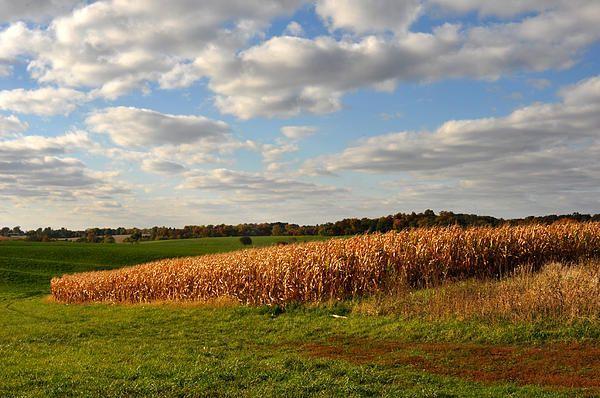 Iowa corn field in Autumn. Diane Greene Lent