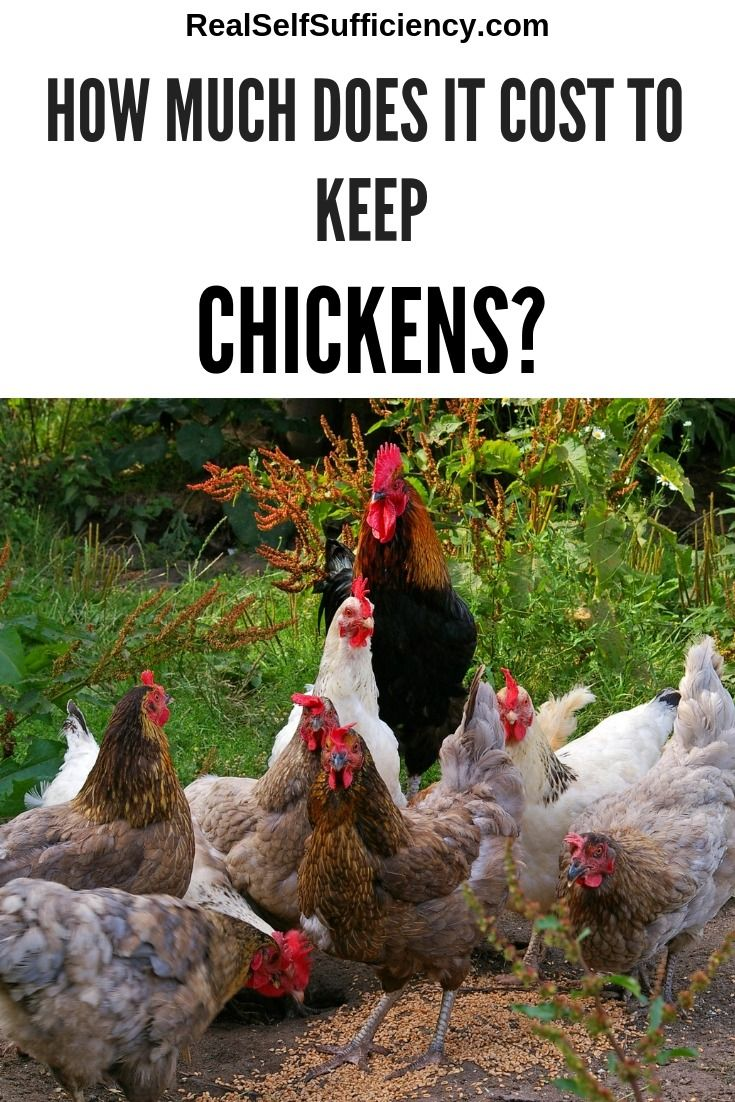 How Much Does it Cost to Keep Chickens Chickens backyard