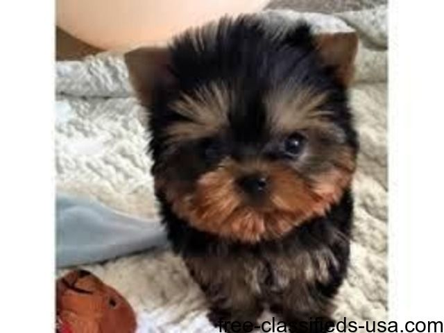 Outstanding Male And Female Teacup Yorkie Puppies Yorkshire Puppies Yorkie Puppy Yorkie Puppy For Sale