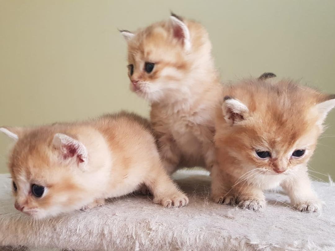 Cat Cats Golden Kitten Kittens Gold Scottish Scottishfold Scottshstraight Britishcat Catlover Meow Kuwait Pets Scott With Images Instagram Posts Animals Cats
