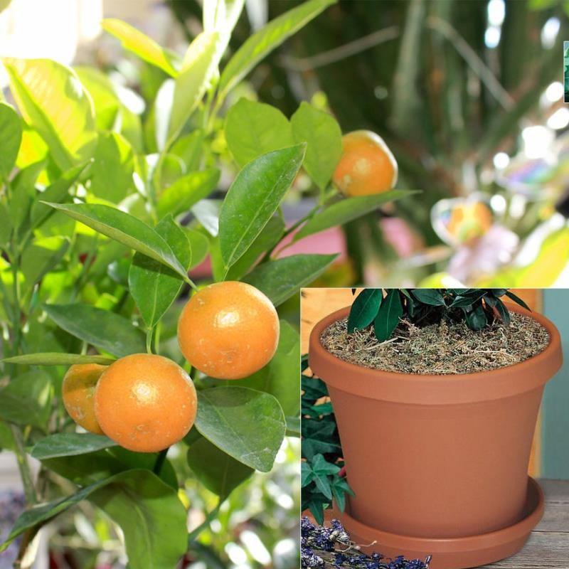 Calamondin Orange Potted Kit Citrus Trees Stark Bro S Citrus Trees Tree Uk Fruit Trees