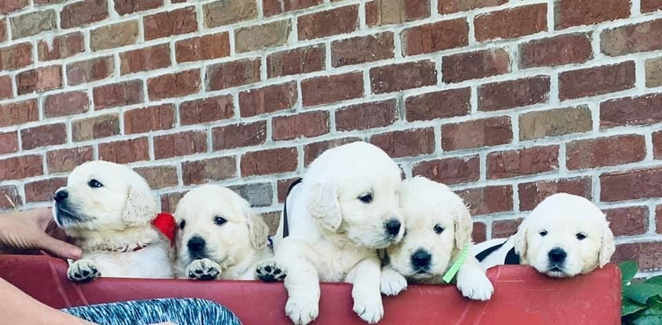 Meet Lane Male Akc Golden Retriever Puppy For Sale In Loogootee