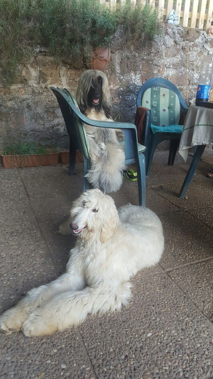 Two Gorgeous Afghan Hounds Afghan Hound Hound Dog Poodle Puppy