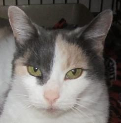 Samantha Is An Adoptable Dilute Calico Cat In Pontiac Mi Samantha Is A Darling Buff Calico Cat She Was Brought To Marl By A Good Sama Calico Cat Cats Bastet
