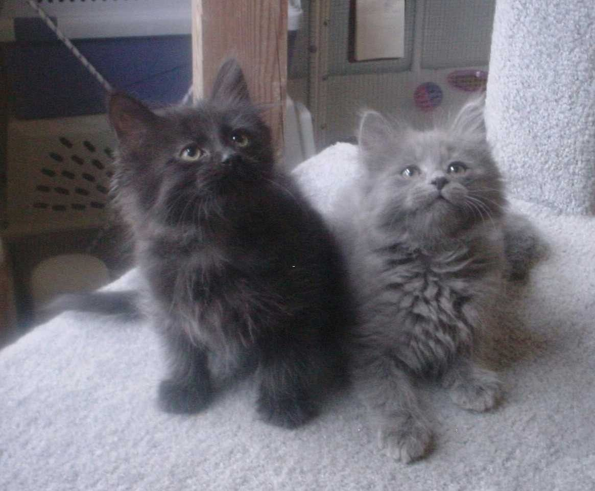 Chantilly Tiffany Kitten Fluffycatsbreeds Chantilly Cat Cat Care Russian Blue Cat