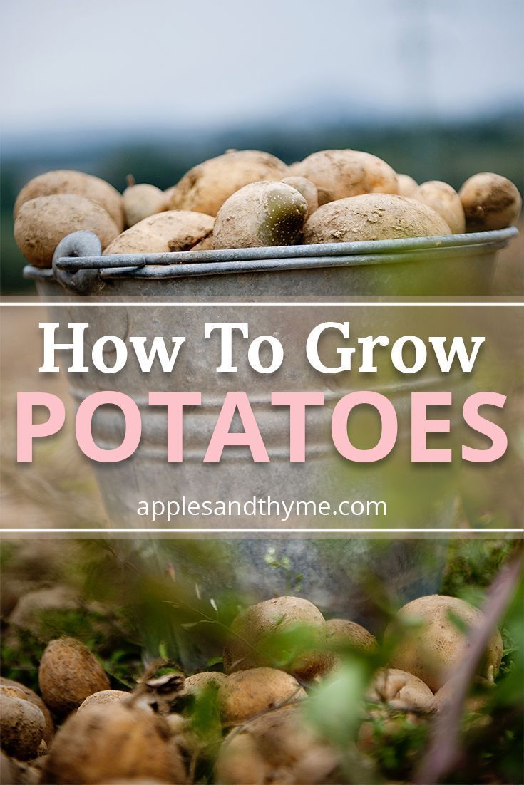 How To Grow Potatoes #growingpotatoes How To Grow Potatoes? They are easily the most versatile vegetable around. Mashed, fried, baked, boiled, hashed and more. So, why not skip the produce section and grow these resourceful vegetables in your own yard. All you need is a sunny space to grow, a steady supply of water, and seed potatoes. Try a homegrown potato and you can taste the difference in crispness and freshness. It is a moment to savor.#howto #grow #potatoes #growingvegetables #vegetables # #growingpotatoes