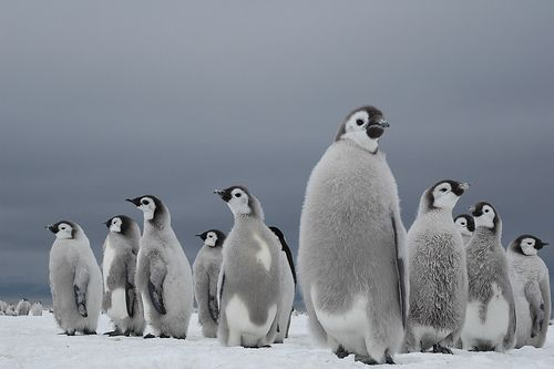 In my next life...if I must come back...I would want to be a penquin. They have strong loving hearts.