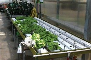 Make sure you have a market before investing in hydroponic lettuce.