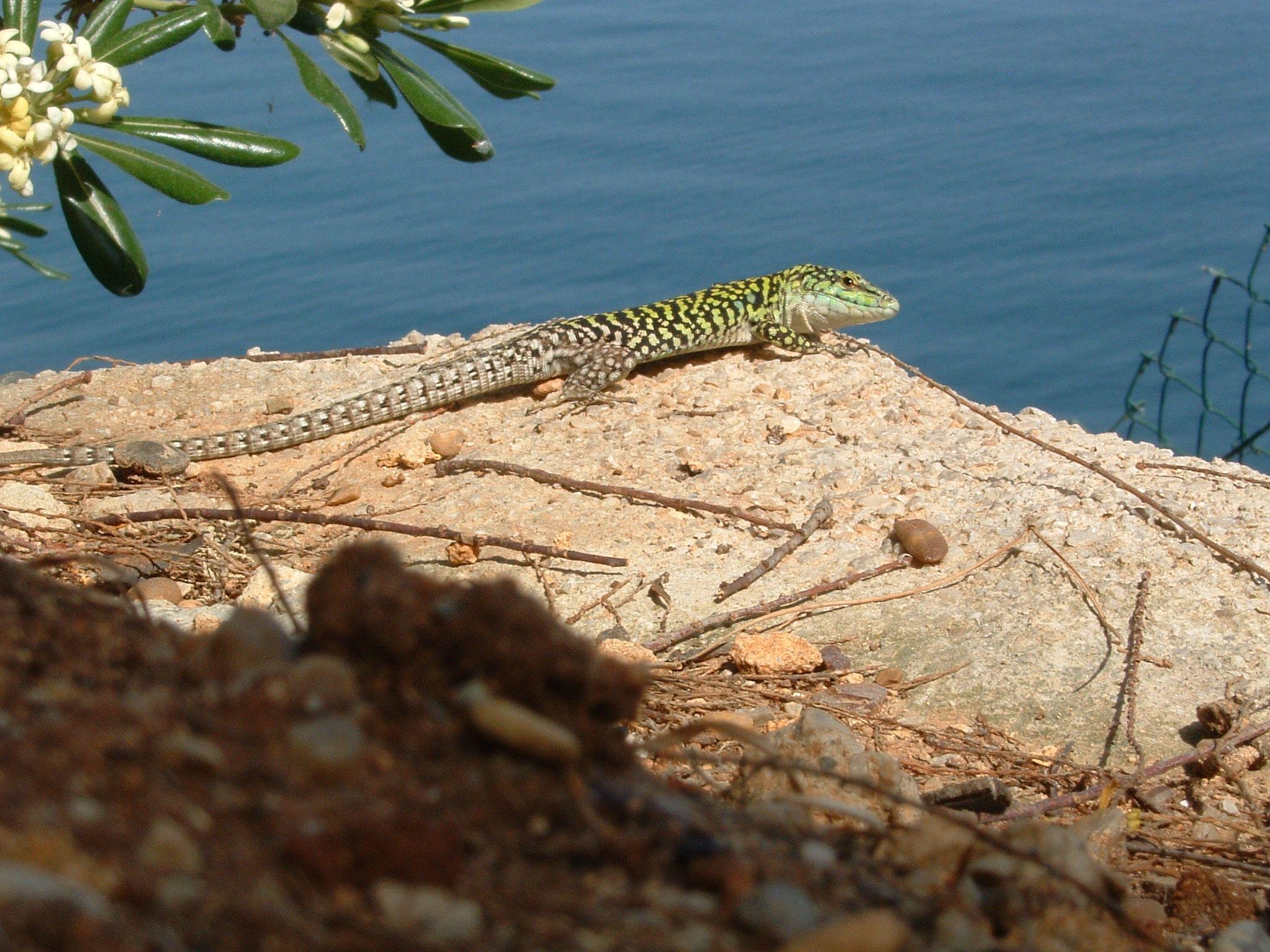 Eidechse an der Küste von Bagheria http://www.bagheria-web.com/de/urlaub.htm #sicily #sicilia #animals