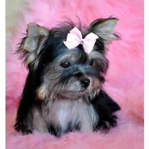 Yorkie And Brussels Griffon Mix Pups Teacup Puppies For Sale