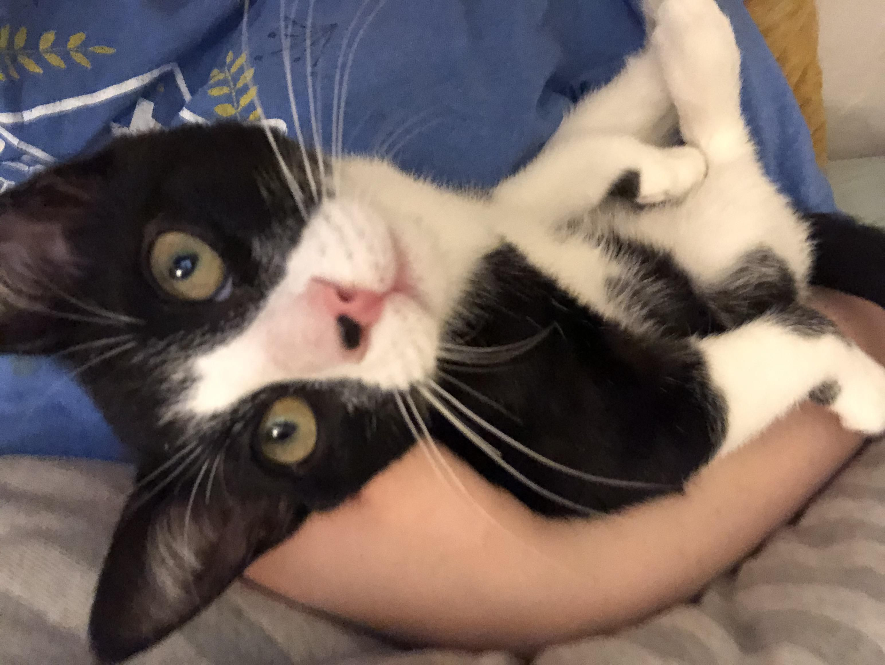 Frankie Likes Being Cradled Like A Little Baby In 2020 Kittens