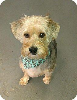 Kansas City Mo Beagleshih Tzu Mix Meet Jasmine A Dog For