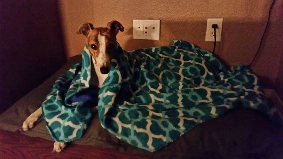 Adele, now Della, is doing great in her forever home with her forever blankie! #homeforever #greyhounds #happyending