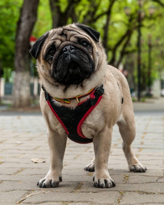 Pin On Maurice The Pug