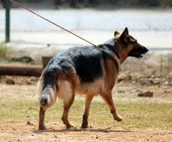 how to train a dominant german shepherd