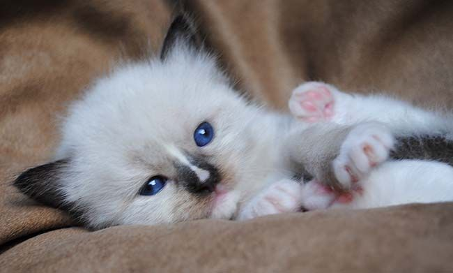 Available Ragdoll Kittens Ragdolls Kittens For Sale Ohio