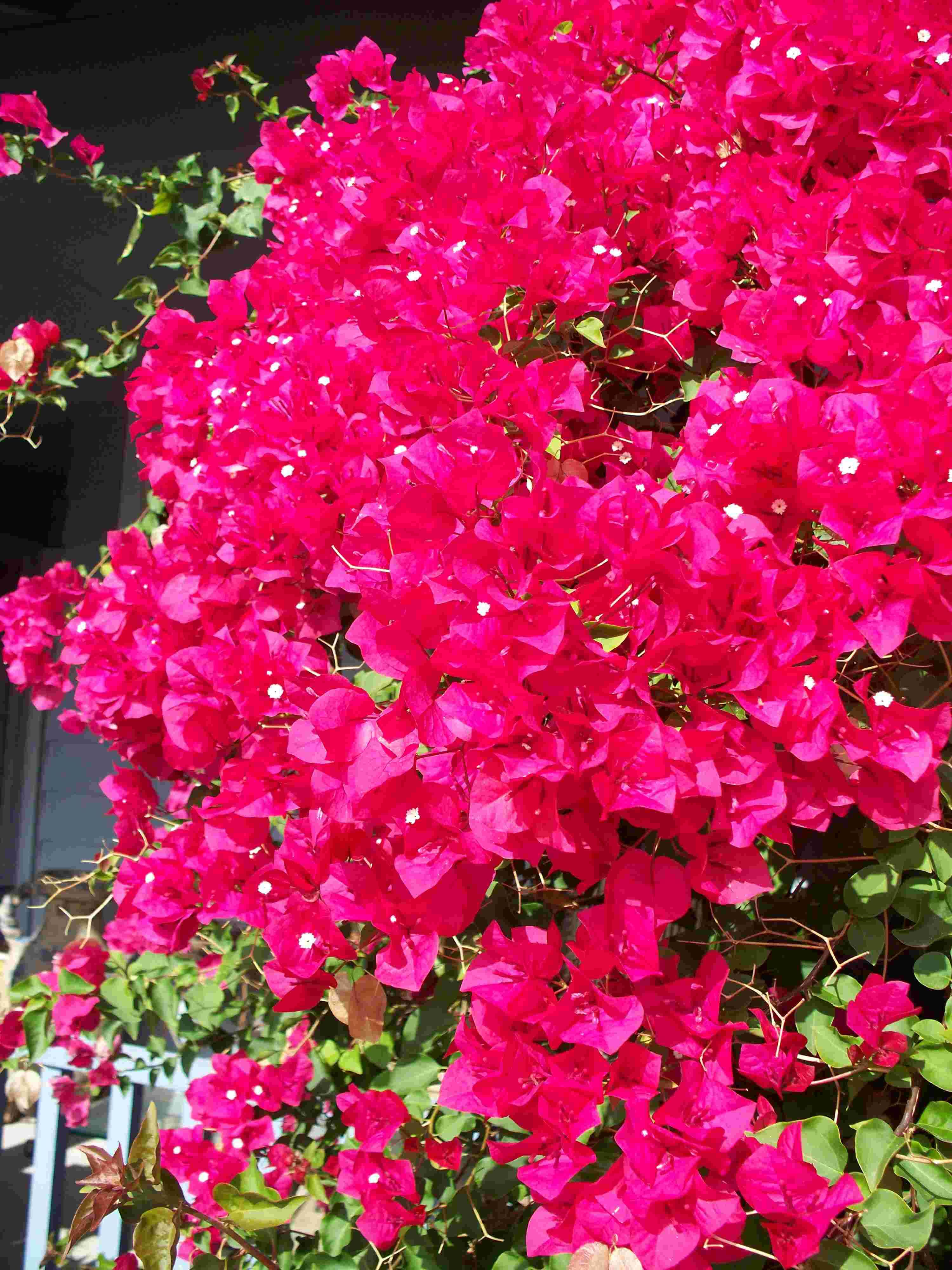 Bougainvillea Winter Care What To Do With A Bougainvillea: If I Ever Live In A Warm Climate Again, I