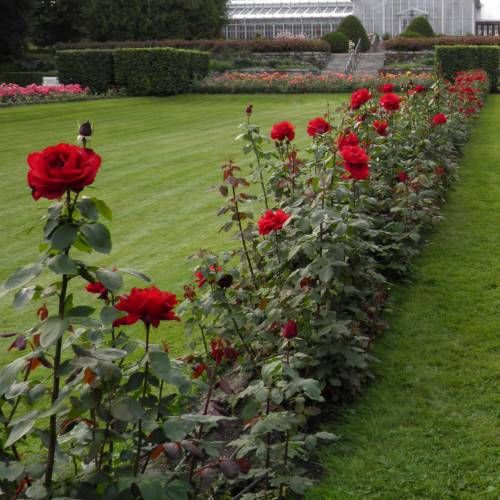 8daa27c1e5705 Rosier  Ingrid Bergman    Roses - Rose   Rosa ingrid bergman ...
