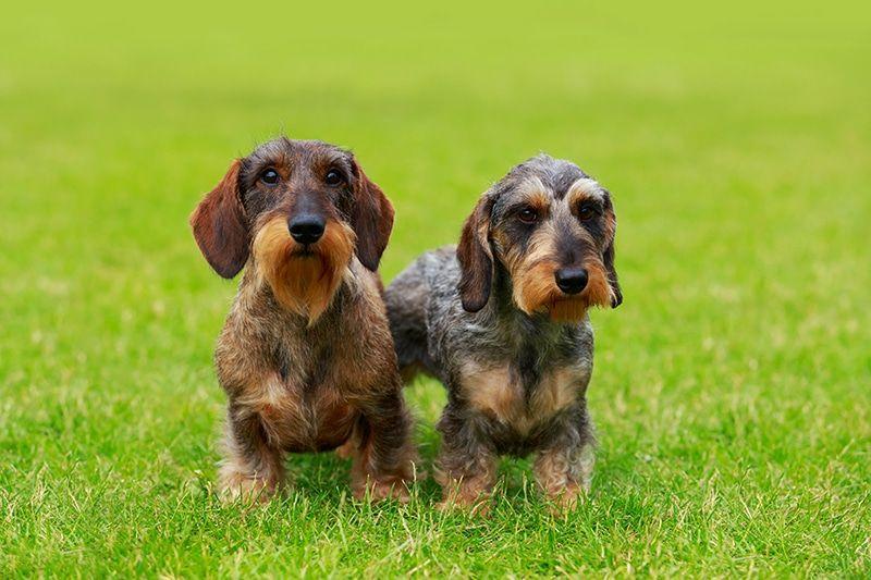 7 Easy Ways To Socialize Your Dachshund Puppy Dachshund Potty