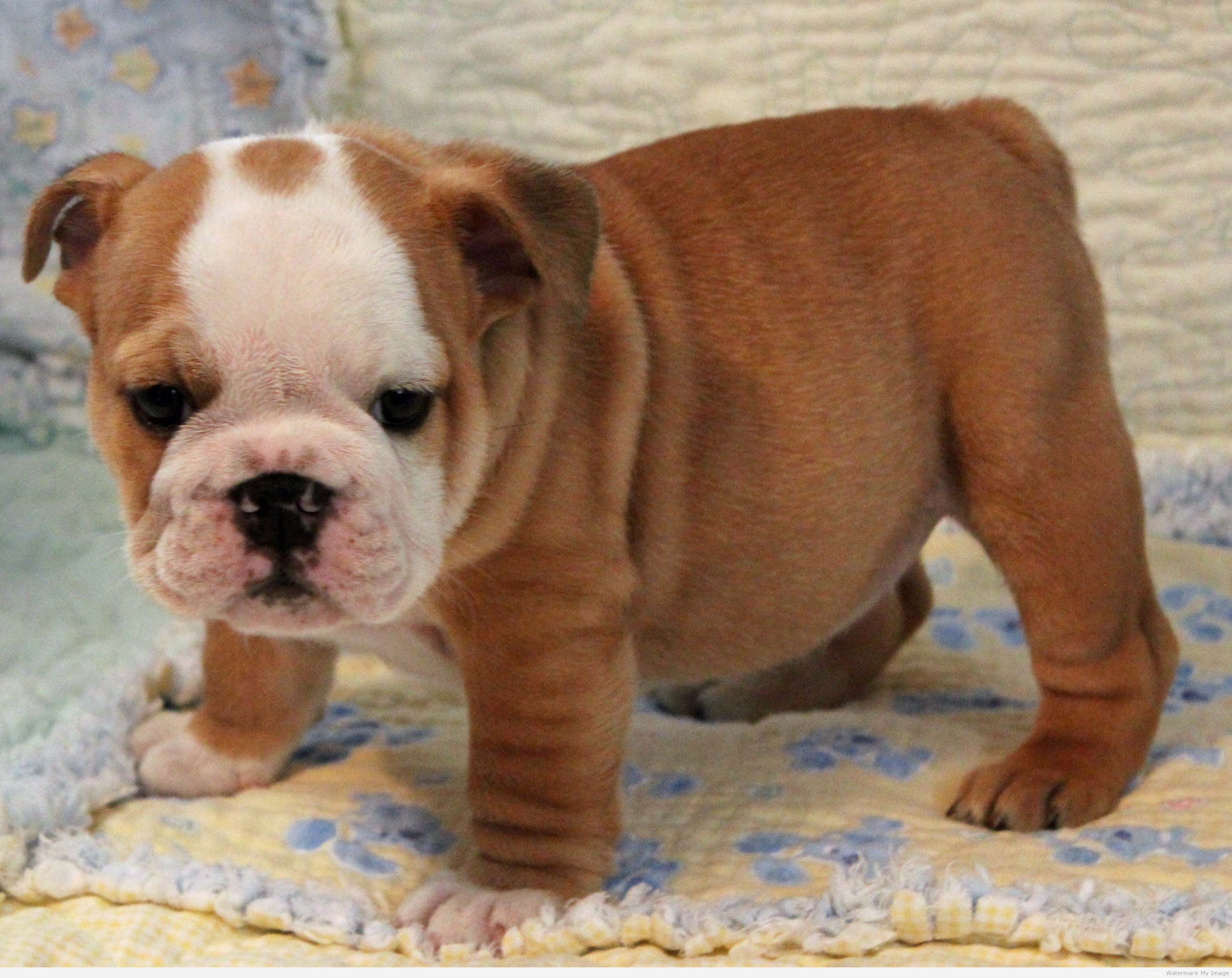 Brown And White Bulldog Puppy Images Pictures Becuo English
