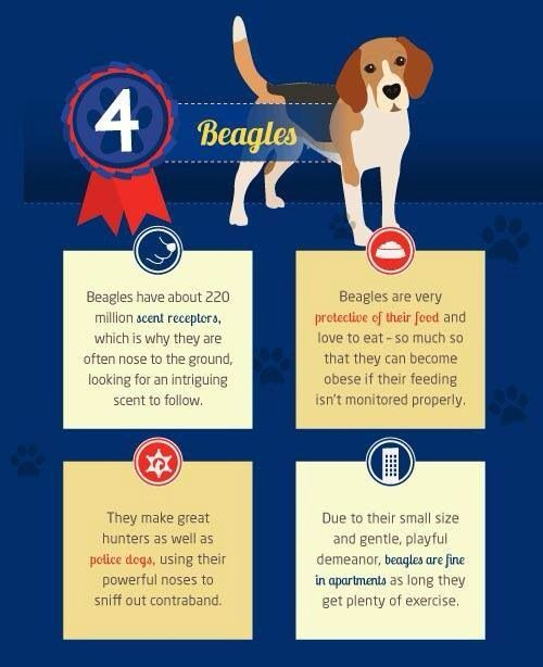 Beagle Fact Beagle Facts Beagles Facts Dogs Beagle Facts Beagle