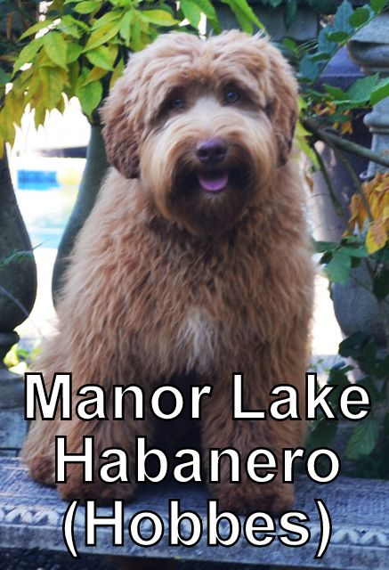 our boys | Manor Lake Australian Labradoodles