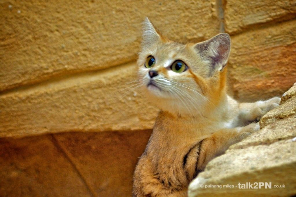 Inquisitive Desert Sand Cat Rare cats, Sand cat, Small