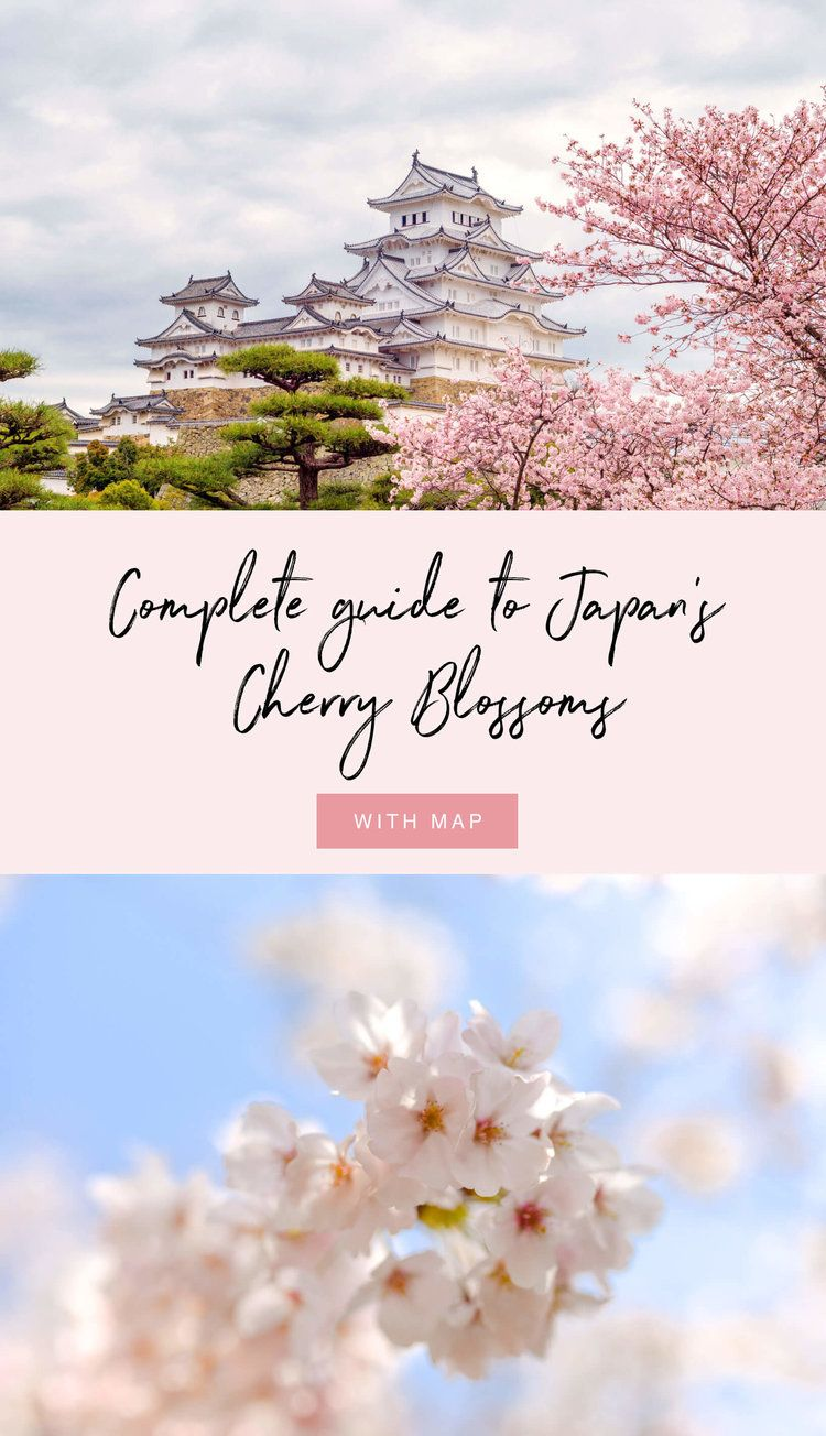 A Complete Guide To Japan S Cherry Blossoms Everything You Need To Know About Cherry Blossom Travel Destinations Asia Japan Travel Destinations Japan Travel