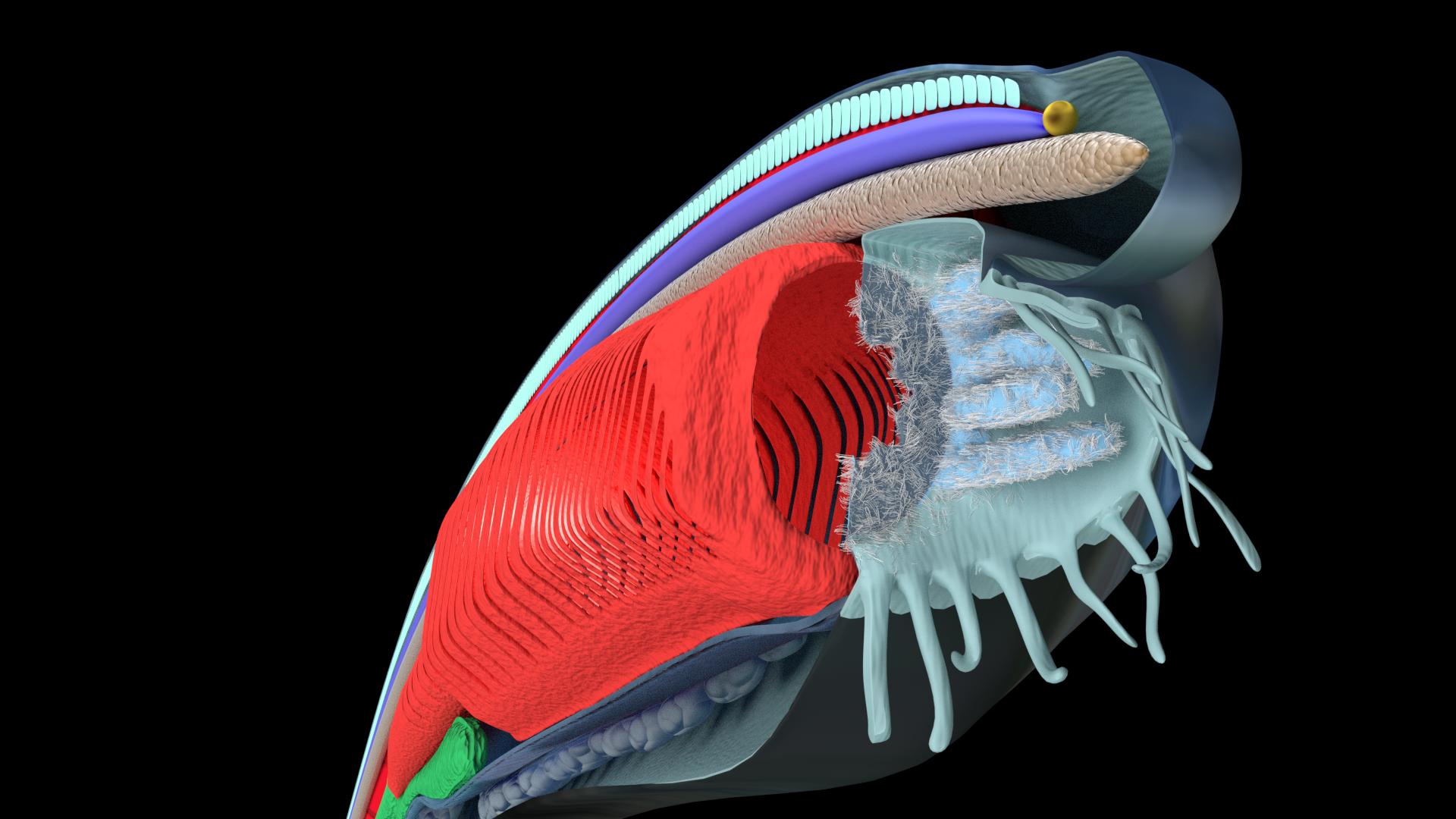 Amphioxus anatomy | n | Pinterest | 3d computer graphics