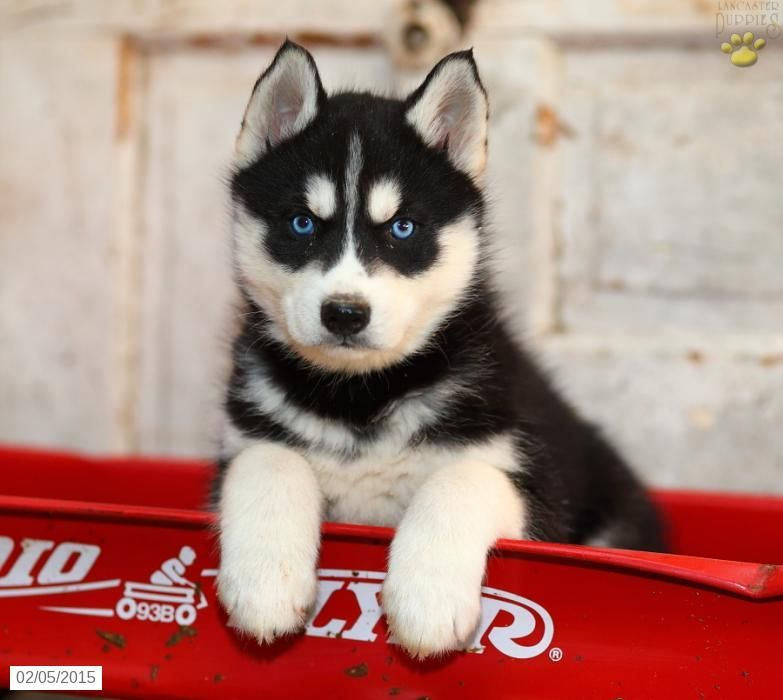 Siberian Husky Puppy For Sale In Pennsylvania Husky Puppies For