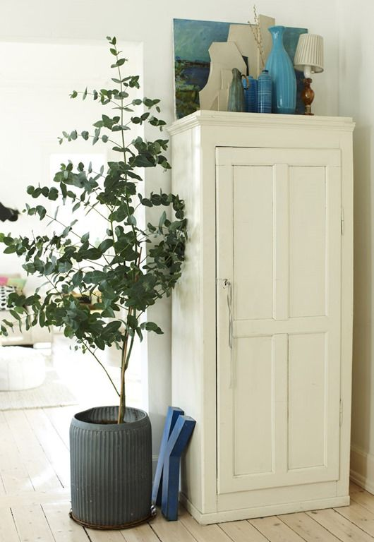 Awesome Indoor Eucalyptus Tree More