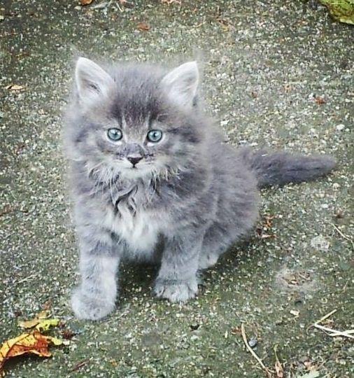 Bluekit A Pale Blue Grey She Kit With Blue Eyes Description From Grey Kitten Kitten Kittens