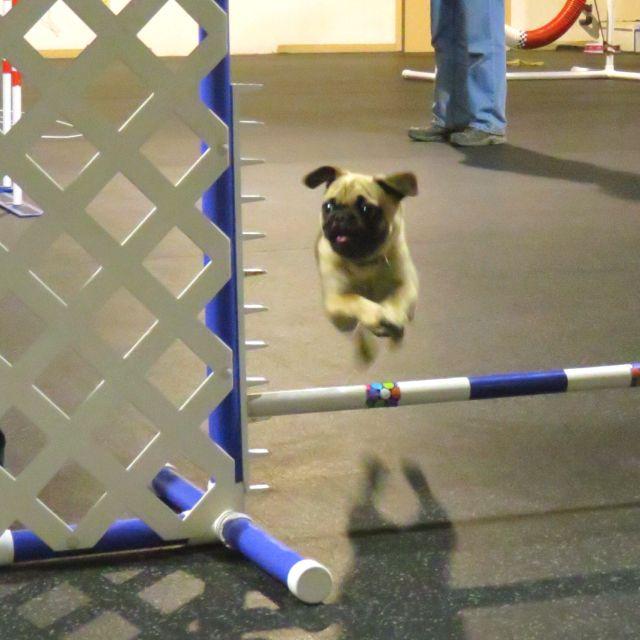 Pug agility!!!