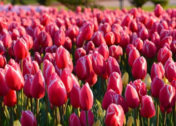 Planter des tulipes 7 conseils pour un tapis multicolore