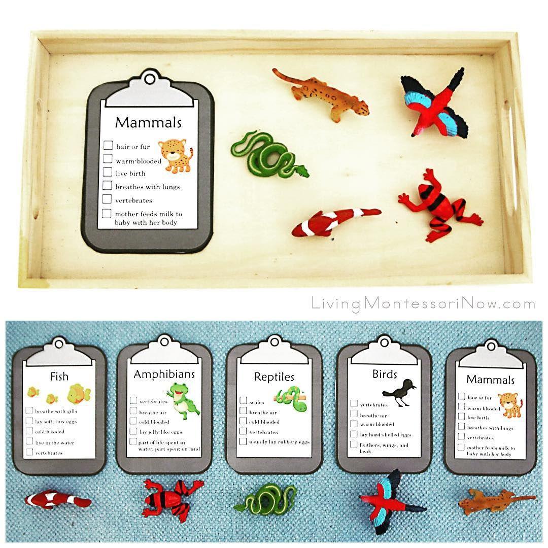 Zoology Classification Activity Preschool Age Montessori Activities Zoology [ 1080 x 1080 Pixel ]