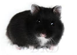 Mijn hamster: Toontje:)
