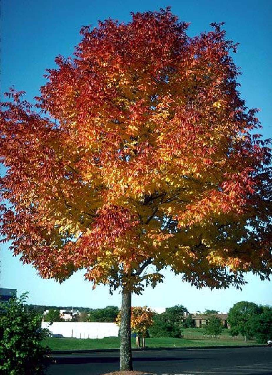 Fraxinus americana autumn purple ash scaping southwest pinterest plants - Planting fruit trees in autumn ...