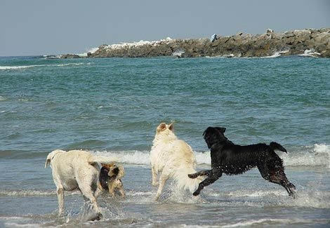 Dogs Loves The San Diego Beaches And So Will You Learn More About Pet Friendly San Diego And Where To Stay Dog Beach Pet Friendly Beach San Diego Beach