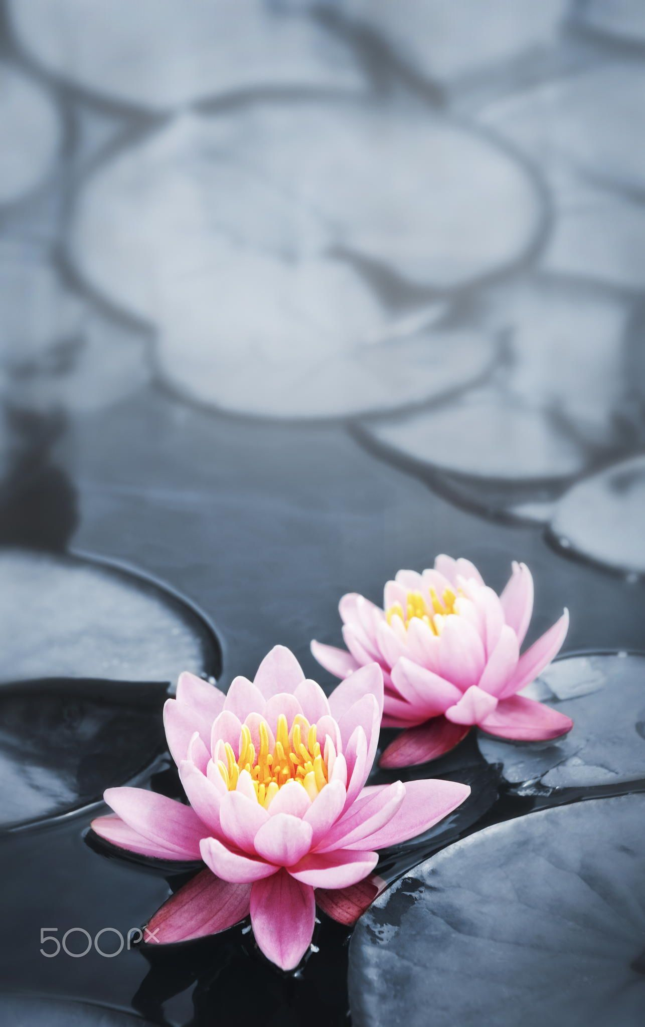 Lotus Blossoms Pink Lotus Blossoms Or Water Lily Flowers Blooming