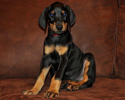 Female Doberman Pinscher Puppy 8 Weeks Old Doberman Pinscher