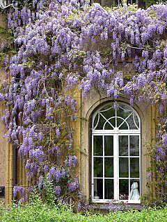 blauregen glyzinie glycinie wisteria bildbeispiele pflege schnitt my home to be garden. Black Bedroom Furniture Sets. Home Design Ideas