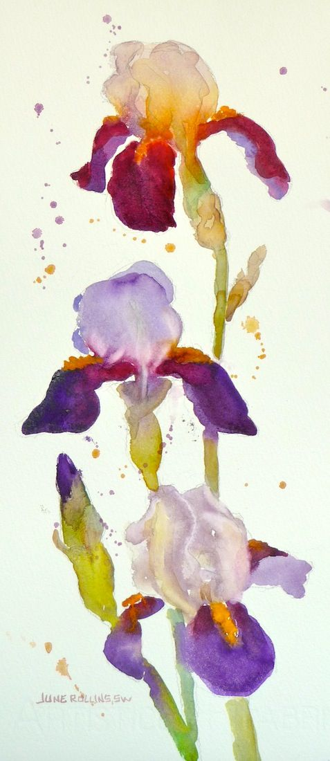 June Rollins Irises Love Her Loose Technique Botanical Art