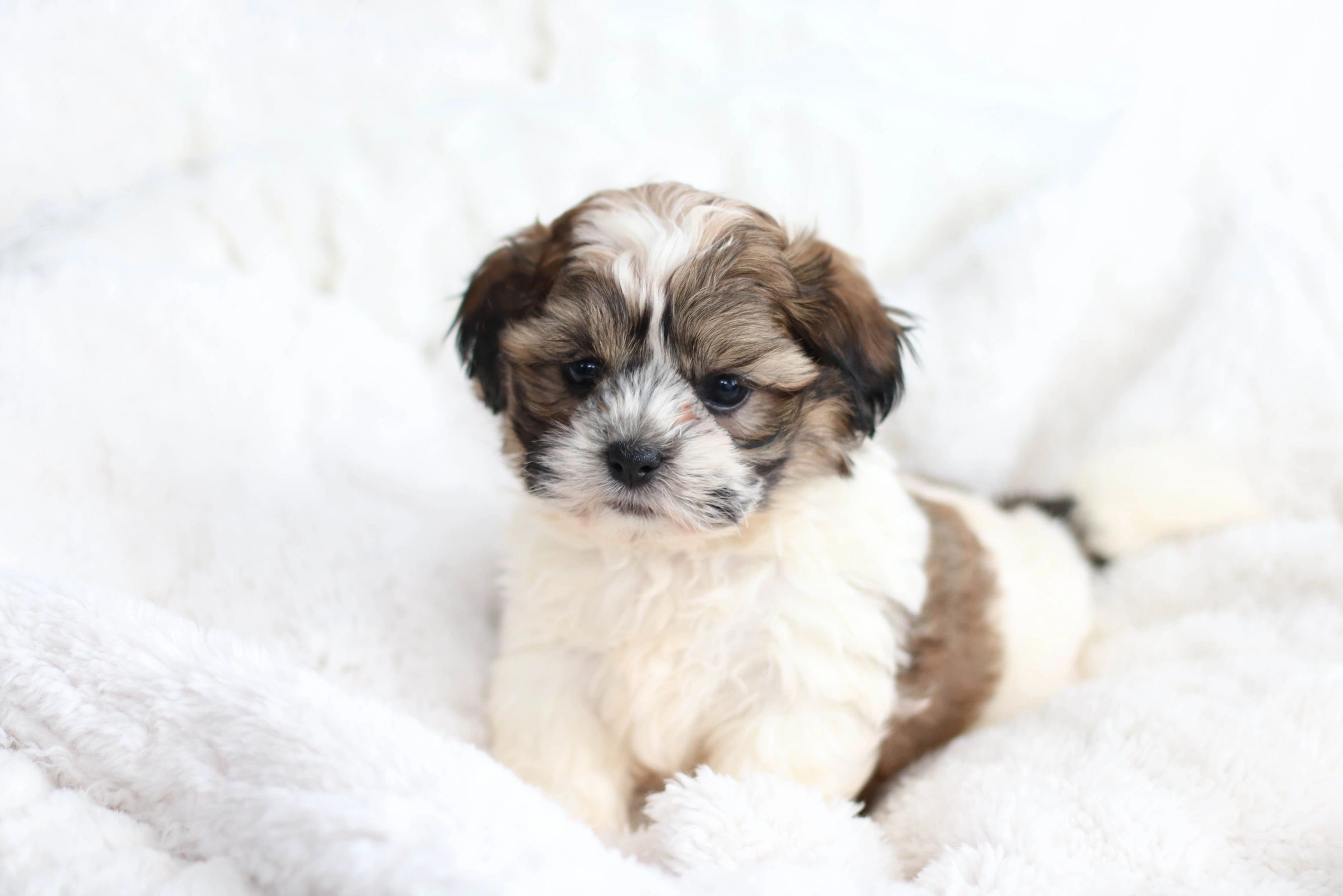 Lhasa Apso Price In India Lhasa Apso Puppy For Sale In Mumbai
