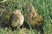 quail breeder in WA