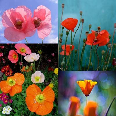 poppies [photo collage] | Flickr - Photo Sharing!